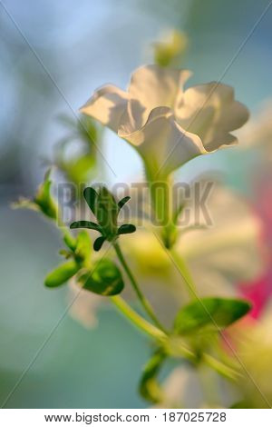 Petunia flowers and sunset in summer time