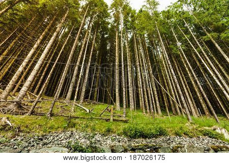 Bottom Shot Of High Pine Trees In Forest