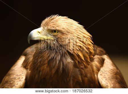 Close up of a Golden Eagle with dark blurred background