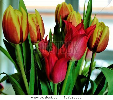 Bunch of colorful tulips in front of window