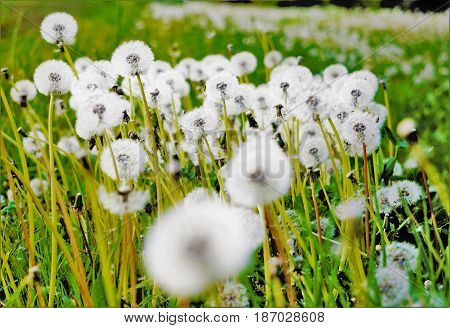 A photo of blowballs on a meadow