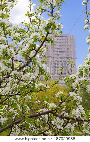 Multi-storey Residential Building Out Of Focus In Astana On A Background Of White Apple Blossoms
