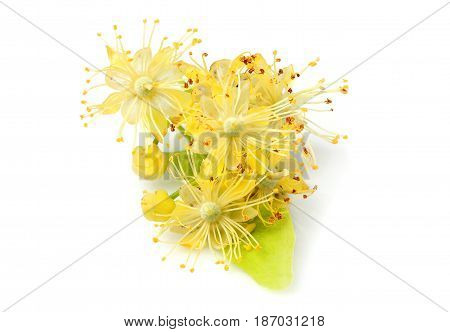 Linden flowers closeup isolated on white background.