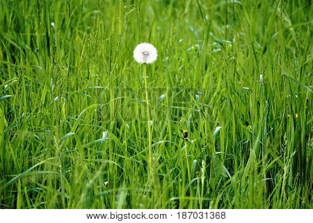 Photo of a single blowball on a meadow