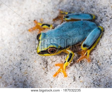 Highly detailed image of Boophis tree frog of Madagascar