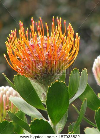 ORANGE AND YELLOW LEUCOSPERMUM CORDIFOLIUM, OR PIN CUSHION PROTEA IN FULL BLOOM