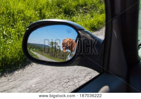 View of the dog in the rearview mirror of the car. Dog looking out the car window. Hungarian pointer Vizsla