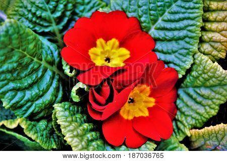 Closeup foto of a red oxlip plant