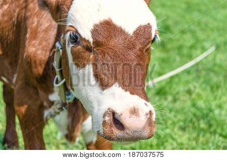 Cow calf standing in a field with green grass. Cow calf head and nose.