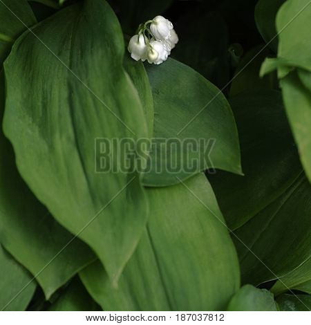 natural plant background of leaves and flowers of Lily of the valley top view with place for text, selective focus