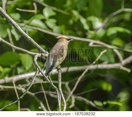 A Cedar Waxwing (Bombycilla cedrorum) perched on a bare branch, against a leafy green background in the Catoctin Mountains in Emmitsburg Maryland, USA.