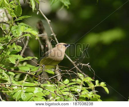 A Cedar Waxwing (Bombycilla cedrorum) sitting on the edge of a leafy bush, looking to its left, in the Catoctin Mountains in Emmitsburg, Maryland, USA.