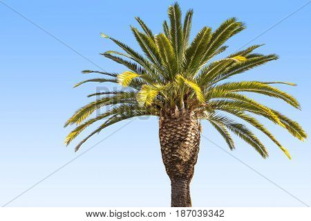 Crown Of The Date Palm Tree