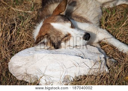 Homeless Dog Sleeps On Stone Pillow