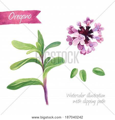 Watercolor illustration of oregano plant and flower isolated on white background with clipping path included