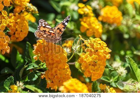 Beautiful Plain Tiger butterfly perching on yellow flower.