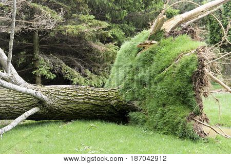 Massive tree on the ground from tornado and wind storm damage