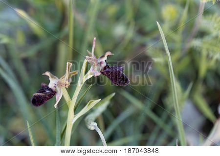 A flower of a Black Bee Orchid (Ophrys incubacea) a wild orchid in the Mediterranean region.