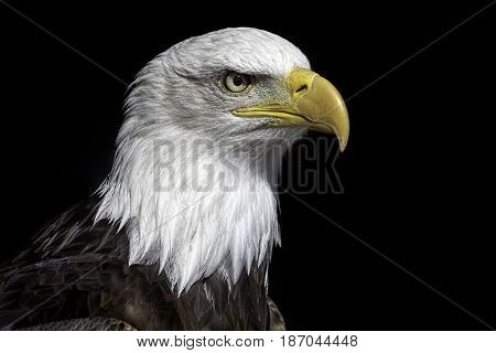 American bald eagle head close up against black background. Magnificent iconic bird of prey and national bird of USA.
