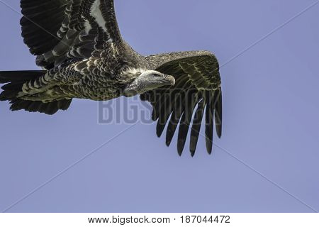 Vulture flying. Close up of a Ruppells griffon vulture (Gyps rueppelli) in flight with copy space. Iconic African wildlife and well known scavenger bird.