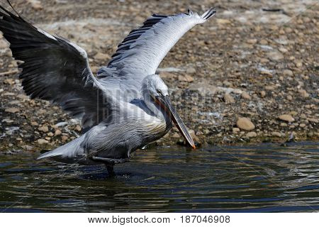Wings of a Pelican on the lake shore