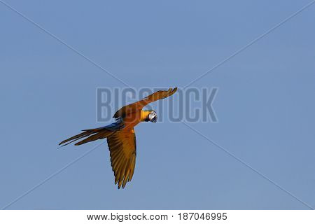 A blue and yellow parrot in flight
