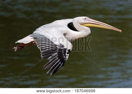 A white pelican flies over dark waters