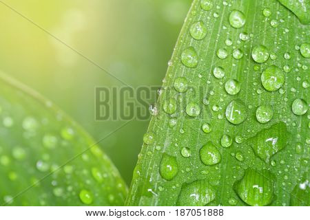 Leaf with water drops. Fresh leaf of lily of the valley with dew. Drops macro. Closeup leaf. Sun rays on grass