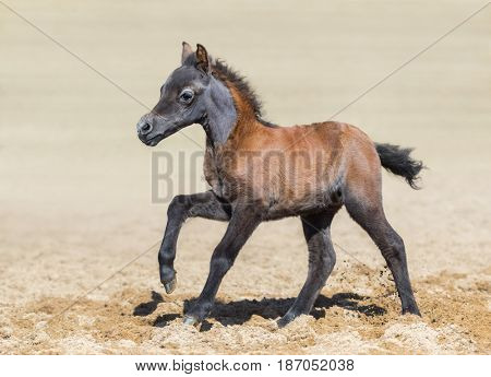 Bay foal is one month of birth. Unique breed is American miniature horse. Mare in motion. Side view.