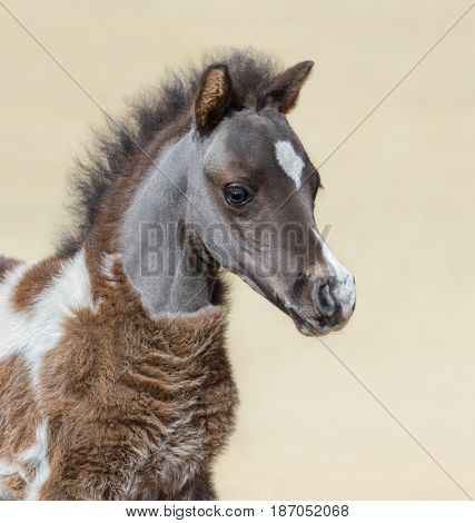 American miniature horse. Silver bay skewbald foal is one month of birth. Stallion. Vertical close up portrain.