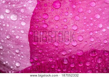 Close up to the peony bud with dew drops. Pink flower with water drops