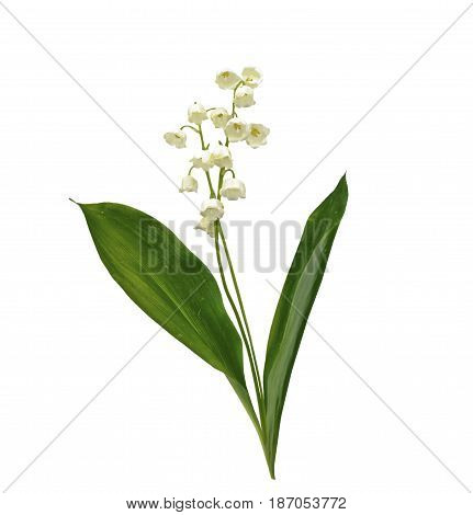 Lily of the valley flower on white background