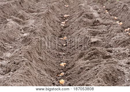 Dug Up A Field That Put The Potatoes In Rainy Weather Closeup