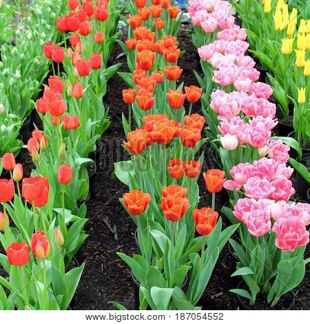 Neatly Planted Rows Of Red, Orange, Pink And Yellow Tulips