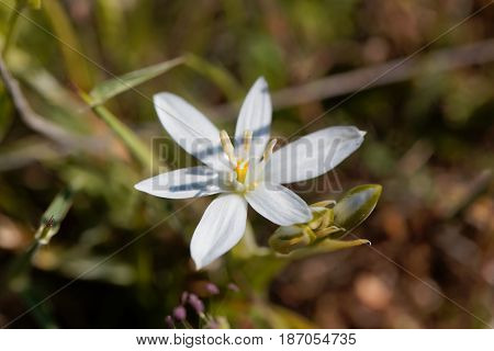 Flowers of the Star of Bethlehem flower Ornithogalum comosum from the Mediterranean region.