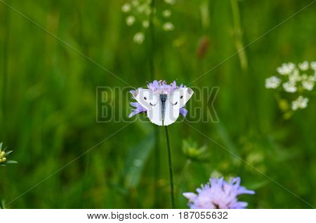 White Admiral Butterfly, Vanessa atalanta, on a meadow.White butterfly on purple flower at summertime