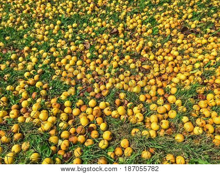 Lots of ripe yellow apples in green grass. Autumn background.