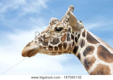 Portrait of one giraffe the tallest living terrestrial animals and the largest ruminants. with blue cloudy sky background.
