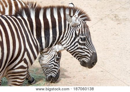 Two zebras eating hay off the dusty ground. Zebras are several species of African equids (horse family) united by their distinctive black and white striped coats.