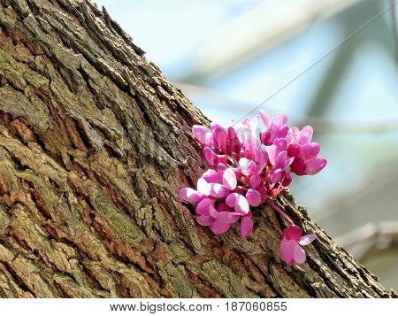 The Redbud Tree flower in Thornhill Canada May 18 2017