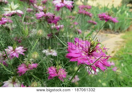 Love-in-a-mist Nigella pink flowers en masse in garden bed