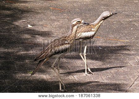 Curlew bird family taking a stroll across road in Far North Queensland Australia