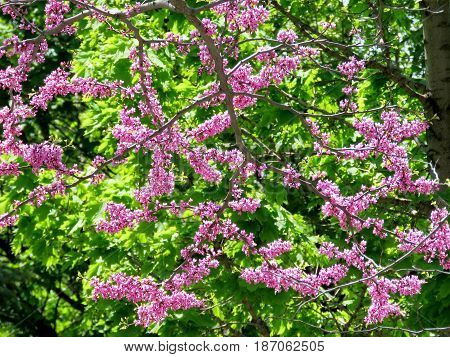 Redbud Tree in Thornhill Canada May 18 2017