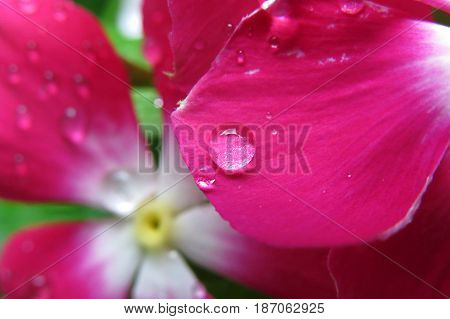 Close-up of a pink impatiens busy lizzy flower with rain drops
