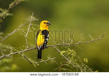The Southern Yellow Grosbeak bird of south America in Perto Lopez Ecuador