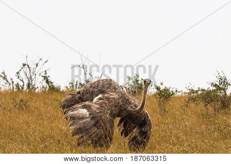 he female African ostrich with spread wings. Marriage dance. Kenya, Africa