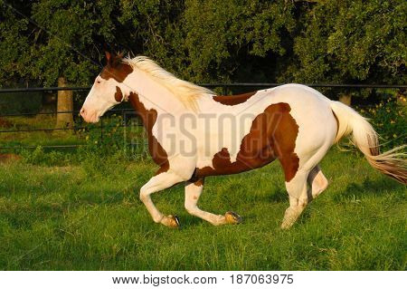 galloping paint horse gelding in sunset pasture