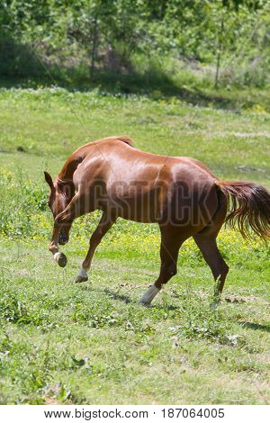 young two year old horse filly playing, jumping and bucking in pasture
