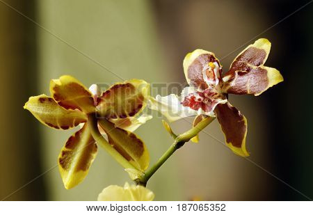 Flowers of orchids of tiger color close up. Blooming of orchid Cambria