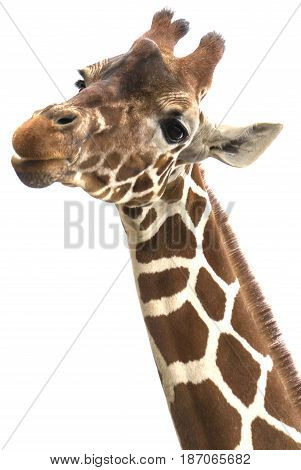 Giraffes portrait on white background vertical view